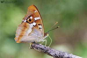 Apaturia ilia (Lesser Purple Emperor)
