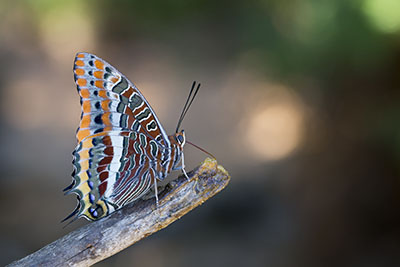 Charaxes jasius (Two-tailed Pasha or Foxy Emperor)