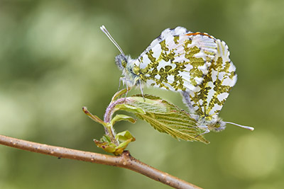 Pareja de Anthocharis cardamines (orange tip couple)