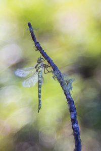 Una libélula: Aeshna cyanea (a dragonfly: southern hawker)