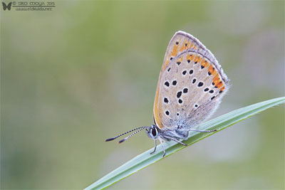 Pareja de Lycaena hippothoe (purple-edged copper)
