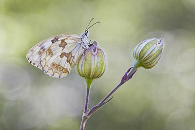 Melanargia lachesis (Iberian marbled white) – focus stacking