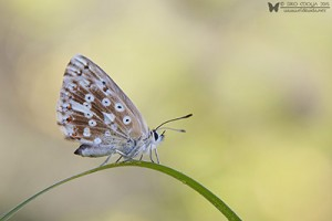 Polyommatus coridon (Chalkhill blue)