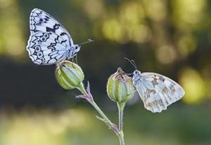 Melanargia russiae & Melanargia lachesis (Esper's marbled white & Iberian marbled white)