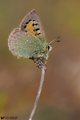 Tomares ballus (Provence hairstreak)