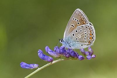 Polyommatus amanda (Amanda's blue)