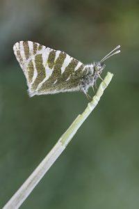 Blanca verdirrayada (Euchloe belemia)