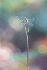 Sympetrum striolatum (common darter dragonfly)