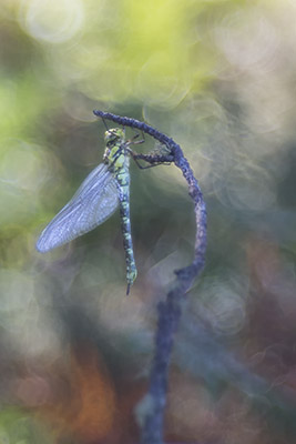 Otra Aeshna cyanea (another southern hawker dragonfly)