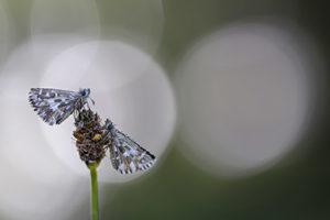 Pareja de Pyrgus malvoides (couple of Southern Grizzled Skipper butterflies)