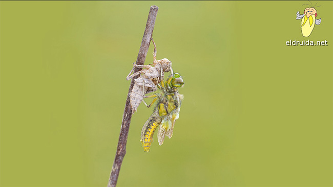 Nacimiento de una libélula / birth of a dragonfly
